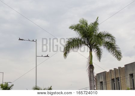 Palm with a white sky background. Light pole with birds perched on top of it.