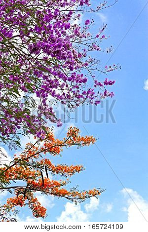 Caesalpinia pulcherrima or Peacock flower with sunny at countryside Thailand