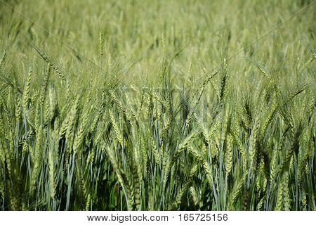 barley farming landscape in the field at thailand