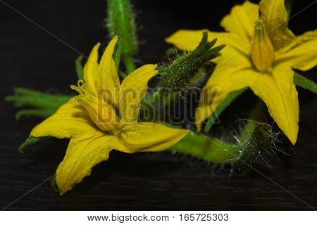 Macro of tomato flower with details. Yellow tomato flower.