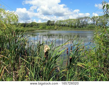 pond surrounded by cattails in the summer