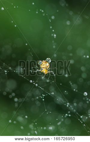 spider and drop of water in Cobweb