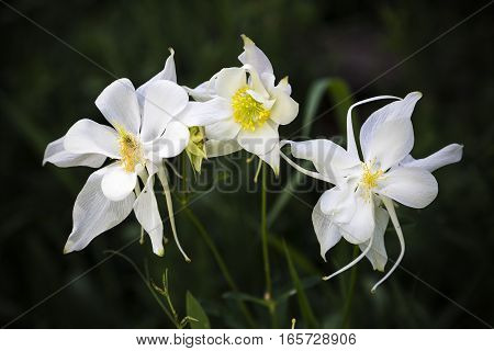 Macro photograph of three wild white columbine flowers (Ranunculaceae Thalictroideae aquilegia)