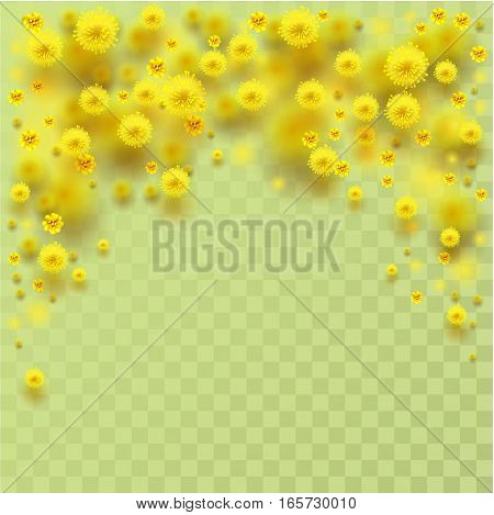 Yellow fluffy mimosa flowers fall. Vector illustration of transparent background