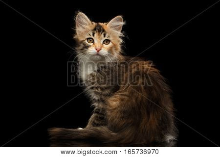 Ginger with brown Tabby Siberian female kitty sitting and looking in camera on isolated black background with reflection, side view