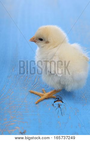 Fluffy Little Yellow Chicken On A Blue Wooden Background. Card For Easter.