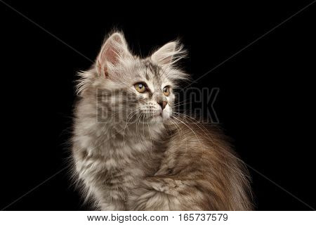 Close-up Siberian kitty with furry coat sitting and looking up on isolated black background with reflection, side view