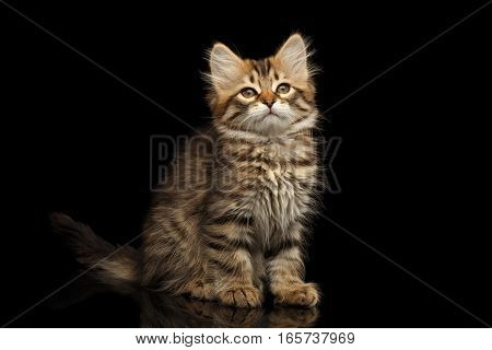 Brown Tabby Siberian kitty sitting and looks satisfied on isolated black background with reflection, front view
