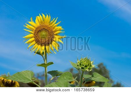 Closeup of sunflower are blooming and buds on background blue sky as blur.