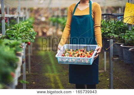 Cropped image of greenhouse worker with box of fresh strawberry