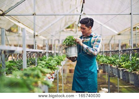 Young Asian farmer holding bucket with strawberry plant