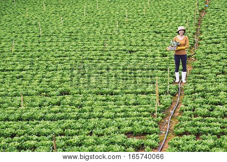 Female Vietnamese farmer on field of cabbage