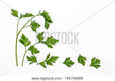 flat leaf parsley leaves and stalks isolated on white background