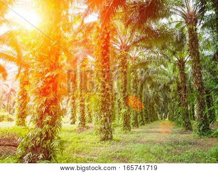 palm tree farm with Lens Flare or sunspot