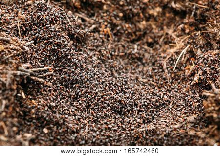 Red Forest Ants Formica Rufa In Anthill Macro Photo, Big Anthill Close Up, Ants Moving In Anthill. Background Of Red Ant Colony