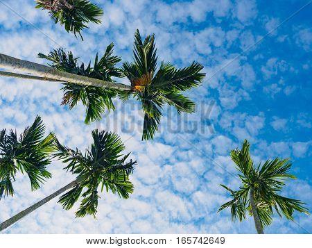 bottom view of betel palm tree or Manila Palm tree with dark blue sky background