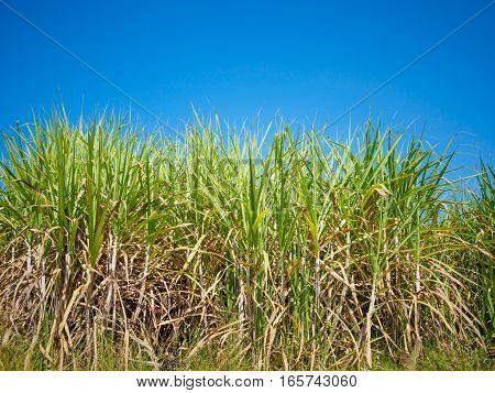 The sugarcane field with blue sky background