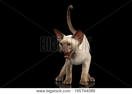 Peterbald kitty siamese coat with blue eyes, big ears standing and meowing, fun hung tail, isolated black background with reflection, front view