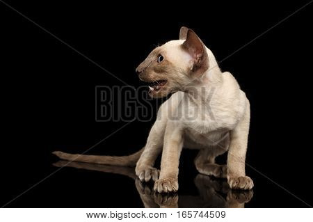 Peterbald kitty siamese coat with blue eyes, big ears sitting and meowing on left, isolated black background with reflection, front view