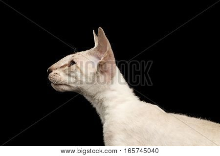 Closeup Peterbald kitty silver color with blue eyes, big ears and looking left, isolated black background, profile view