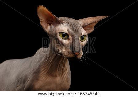 Closeup hairless Peterbald Cat with green eyes and big ears, wrinkles on neck, watching isolated black background, front view