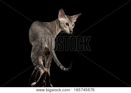 Silver Peterbald Cat Standing in pose and looking side, isolated black background, back view