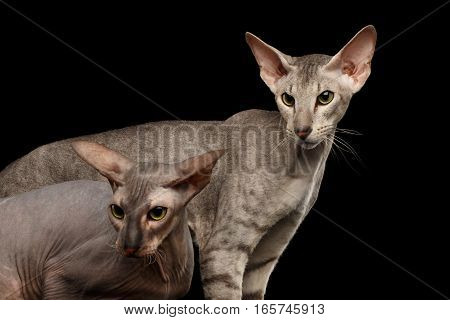 Closeup Two Peterbald Cats family hairless and silver with green eyes, female and male, Stare at side, isolated black background