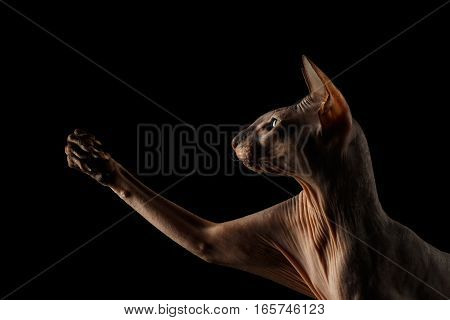 Closeup portrait of hairless Peterbald Cat with green eyes and wrinkles on neck, touching his paw isolated black background, profile view