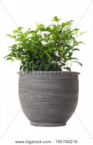 Orange jasmine in flower pot isolated on white background