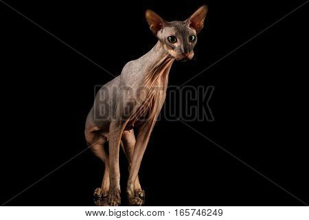 Hairless Peterbald Cat with green eyes and wrinkles on neck, Standing and Stare isolated black background, front view