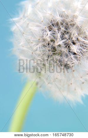 close up blowball in front of a blue background
