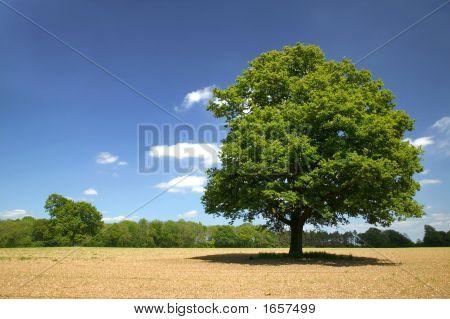 Old Oak On A Sunny Day