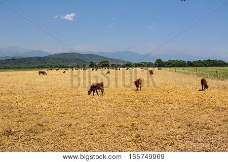 cattle ruminating in the field at the base of the Andes.
