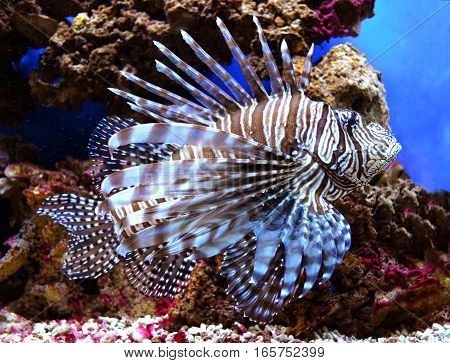 Pterois volitans. Red lionfish (Pterois volitans) aquarium fish