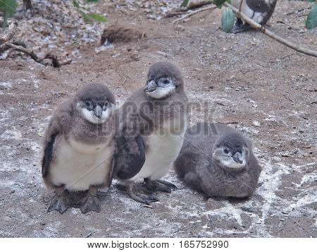 Three African penguins chick on the ground at Boulders Beach in Cape town, South Africa. African penguin ( Spheniscus demersus) also known as the jackass penguin and black-footed penguin.