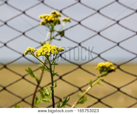 Tansy flowers on the background of the fence from the grid. Close-up.