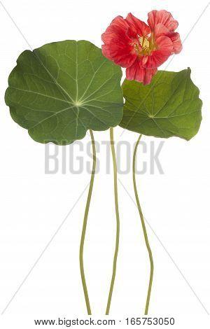 Nasturtium Flower Isolated
