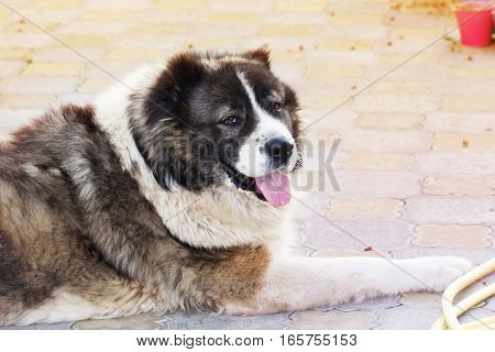 Caucasian Shepherd a large guard dog. Fluffy Caucasian shepherd dog is lying in a garden