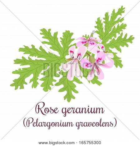 Rose Geranium or Pelargonium Graveolens. Blossoming pink flowers on a green branch. Vector illustration for label, poster, spa, design, cosmetics, natural health care products, logo, price tag, label.