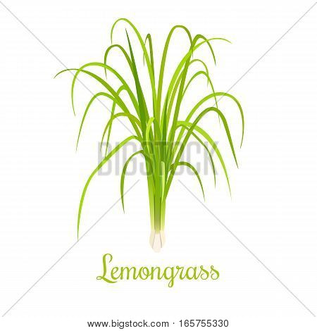 Lemongrass or Cymbopogon or Citronella grass. culinary herb. spicy. green leaves and root. Vector illustration. For cosmetics, labels, natural health care products. Can be used as logo, price tag,