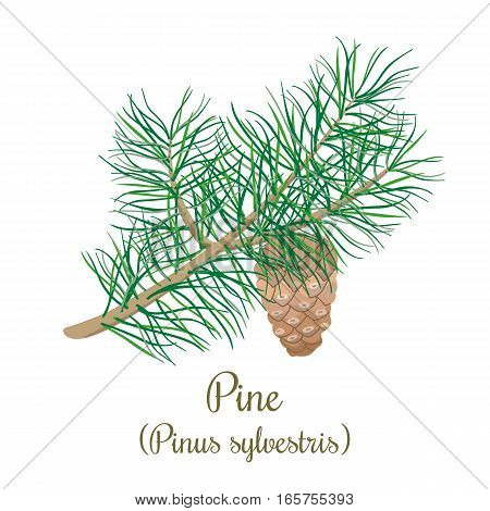 Pine tree twig with a cone. Green Branch of Pinus sylvestris. Vector illustration for label, poster, spa, design, cosmetics, natural health care products. Can be used as logo, price tag, label.