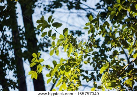 a sunshine on a green leafs on a blue sky background with green foliage bokeh