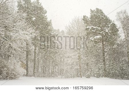 Heavy snowfall in a forest, cold winter