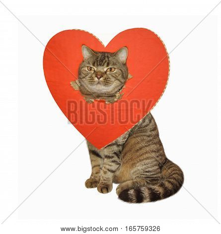 The big cat is sitting. His head went through a big red heart. White background.