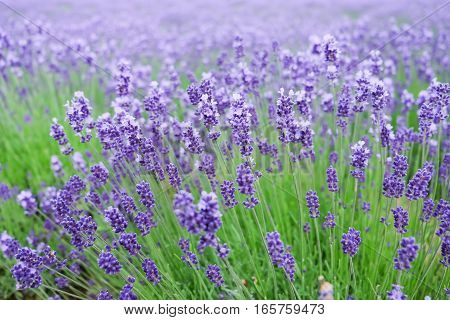 Closeup image of purple lavender flowers in the field