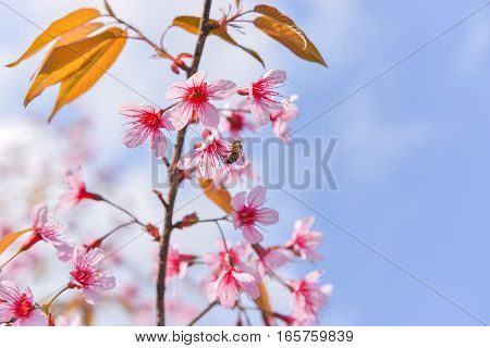 The wild himalayan cherry blossom blooming with the sky