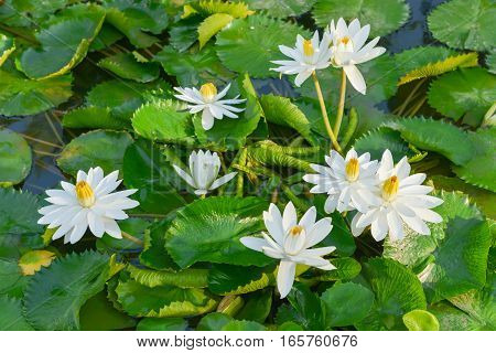 Beautiful white Lotus in the pond in the morning
