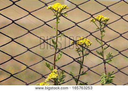 Tansy flowers on the field. Tansy flowers on the background of the fence from the grid. Close-up.