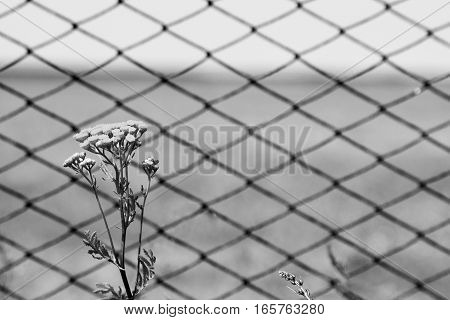 Tansy flowers on the background of the fence from the grid. Close-up. Black and white.