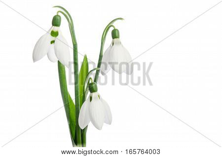 Three Snowdrop Flowers